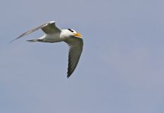 Royal Tern in Flight. Royal Tern (Sterna maxima) in flight late September in Chesapeake Beach, Maryland USA royalty free stock images