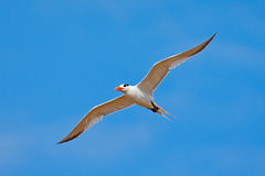 Royal Tern in flight, Thallaseus maximus, white bird with black cap, blue sky with white clouds in background, Costa rica. Wildlif Royalty Free Stock Images