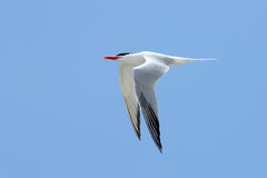 Royal tern flying with a blue sky Royalty Free Stock Images