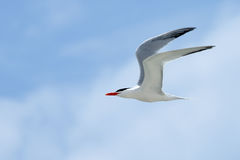 Royal tern flying with a blue sky Stock Image