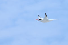 Royal tern flying with a blue sky Royalty Free Stock Image