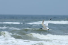 Royal tern flying over the ocean Royalty Free Stock Photo