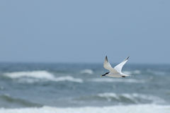Royal tern flying over the ocean Royalty Free Stock Photography