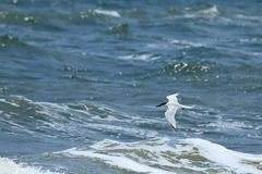 Royal tern flying over surf Royalty Free Stock Photography