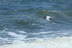 Royal tern flying over surf Royalty Free Stock Photo