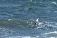 Royal tern flying over surf Royalty Free Stock Image