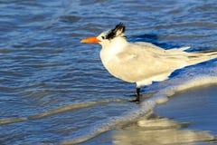 Royal Tern Stock Photography