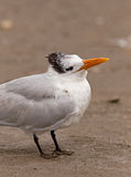 Royal Tern Royalty Free Stock Image