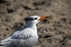 The Royal Tern at the Malibu Beach in October.  Stock Images