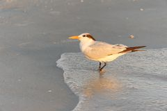 Royal Tern at Ocean in Morning Royalty Free Stock Photo