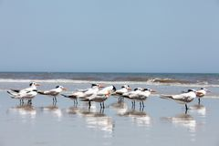 Free Royal Tern On A Beach Royalty Free Stock Images - 108596969