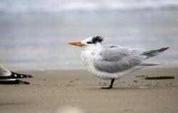 Free Royal Tern On Hilton Head Island Beach, South Carolina Stock Photo - 168069020