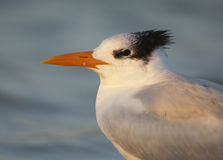 Royal Tern portrait Royalty Free Stock Photos