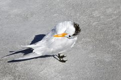Royal Tern Preening Royalty Free Stock Photo