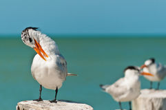 Royal tern preening feathers Stock Photography