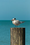 Royal tern resting on a piling Royalty Free Stock Image