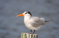 A Royal Tern rests on a piling royalty free stock image
