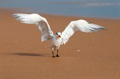 Royal tern spreads wings. Royal tern on a sandy beach Stock Photos