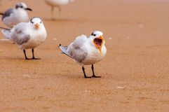 Royal tern yawning. Royal tern on a sandy beach yawning Royalty Free Stock Image