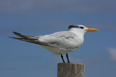 Royal Tern Royalty Free Stock Photos