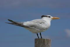 Royal Tern Royalty Free Stock Photos