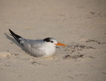 Royal tern. Sitting on sandy beach Sian Kaan reserve , Yukatan peninula, Mexico Royalty Free Stock Photography