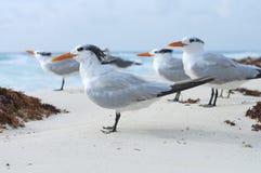Royal tern Royalty Free Stock Photography