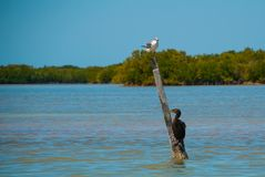 Royal Tern standing on a post near Rio Lagartos, Mexico Yucatan. Royal Tern standing on a post near Rio Lagartos, Mexico. Yucatan Royalty Free Stock Image