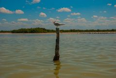 Royal Tern standing on a post near Rio Lagartos, Mexico Yucatan. Royal Tern standing on a post near nature reserve of Rio Lagartos, Mexico. Yucatan Royalty Free Stock Images