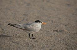 Royal tern. Standing on sandy beach Sian Kaan reserve, Yukatan peninsula, Mexico Stock Photos