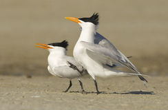 Royal Tern, Sterna maxima Stock Photography