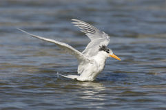 Royal Tern, Sterna maxima Stock Images