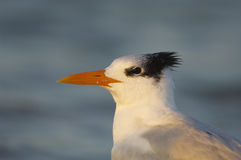 Royal Tern, Sterna maxima Royalty Free Stock Photo