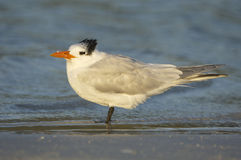 Royal Tern, Sterna maxima Royalty Free Stock Images