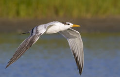 Royal tern (Sterna maxima) flying.