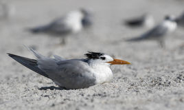 Royal Tern (Sterna maxima) standing on a beach. Stock Photos