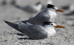 Royal Tern (Sterna maxima) standing on a beach. Stock Photography