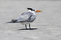 Royal Tern (Sterna maxima) standing in surf. Stock Photo