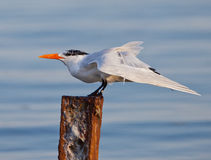 Royal Tern stretchings it's wings Stock Photography