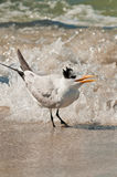 Royal Tern in surf Stock Images