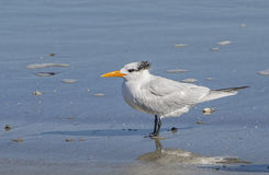 Royal Tern in surf on Jekyll Isand Beach, GA Stock Images