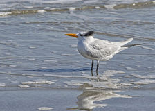 Royal Tern in surf on Jekyll Isand Beach, GA Stock Photography