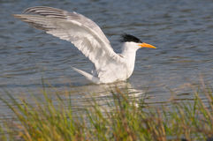 Royal Tern taking a bath Royalty Free Stock Images