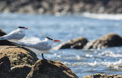 Royal Tern (Thalasseus maximus) on the Beach in Mexico Royalty Free Stock Photo