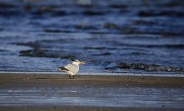 Royal Tern bird on beach, Hilton Head Island