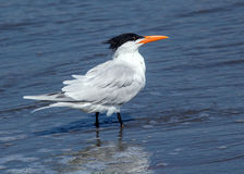 Royal Tern,Thalasseus maximus Royalty Free Stock Image