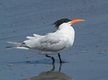 Royal Tern,Thalasseus maximus Royalty Free Stock Photography