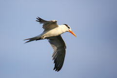 Royal tern Thalasseus maximus flying above Paracas Bay, Peru Stock Images