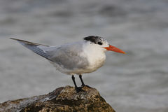 Royal Tern (Thalasseus maximus maximus) Stock Photography