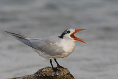 Royal Tern (Thalasseus maximus maximus) Stock Photo